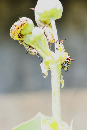 tomato caterpillar: Together the four worms are eating the flowers carefully.