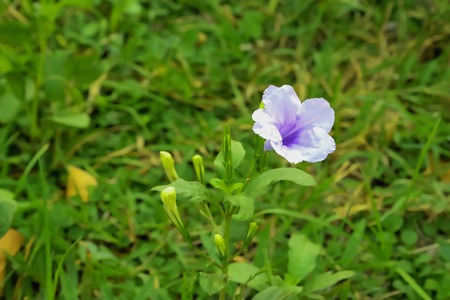 acanthaceae: The Acanthaceae early blooming purple show fully. Stock Photo