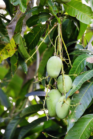 resulted: Mango is a fruit with a very high starch consumption resulted overweight.