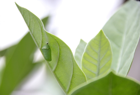 quite: Caterpillars eat the body for quite a while, it starts to change into a pupa.