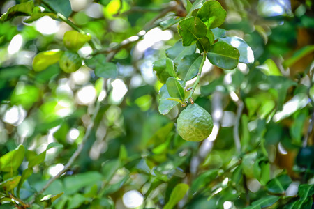 ancient times: Bergamot is a medicinal plant used since ancient times in Thailand.