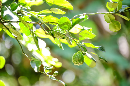 Bergamot is a medicinal plant used since ancient times in Thailand.