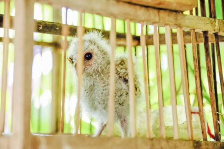 The chicks were kept in wooden cages to prevent it being abused.