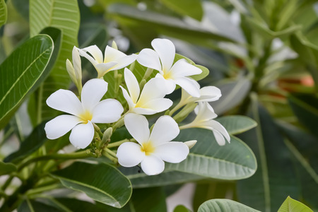 subtropical plants: Plumeria flower blooming in the early part of it.