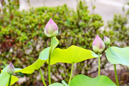 Lotus will blossom season, usually during the rainy season. Stock Photo