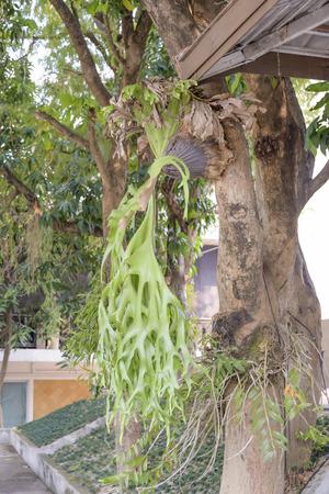 tropical native fern: Kraechgasida are biennial plants like grip on the tree.