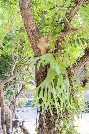 platycerium grande: Kraechgasida are biennial plants like grip on the tree.