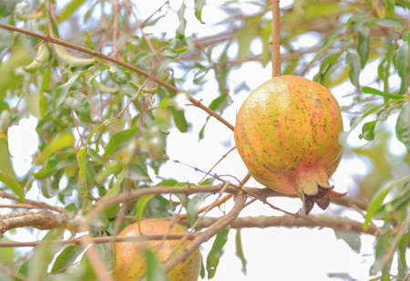 penetracion: Pomegranate peel with traces of penetration of insects.