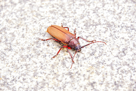 cerambycidae: Scarab with wings that light hidden under a rigid wing is spread out in time, its like flying.