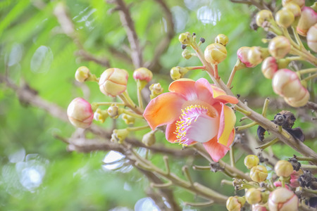 Cannonball flower is a flower without fragrance.