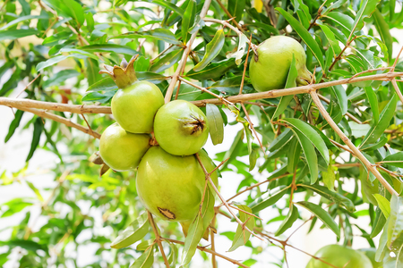 penetración: Pomegranate peel with traces of penetration of insects.