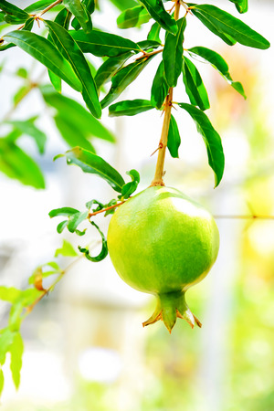 stigma: Pomegranate has issued a stigma attached to terminals to drop out. Stock Photo