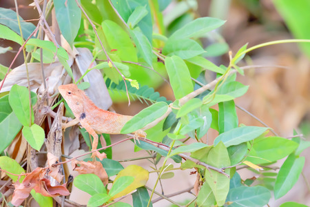camouflaged: Lizards are camouflaged amongst the green leaves. Stock Photo