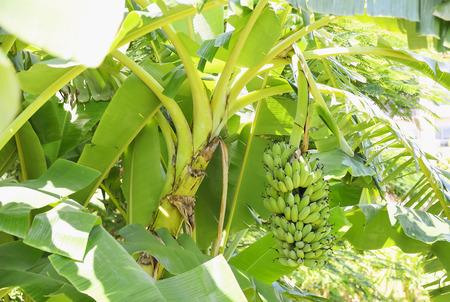 バナナは安いですが、栄養価の高い果物です。