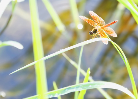 Dragonflies never fly perched on a leaf.