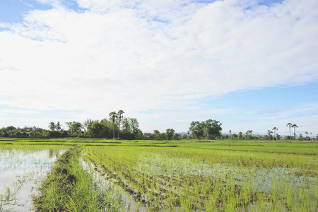 alleppey: Rice is planted with rice cultivators, which is how I came past.