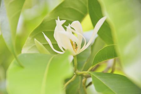 White Champaka Stock Photo