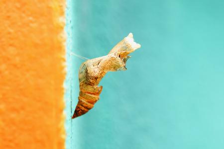 cigarra: Los insectos dejan un removedor de manchas. Foto de archivo