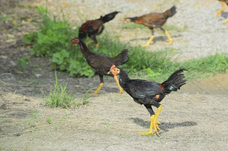 Native chickens were fed by allowing tricky naturally. Stock Photo