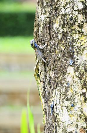 plants species: Chameleon serrato sul grande albero. Archivio Fotografico