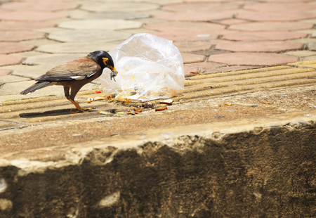 common myna bird: Acridotheres eating food that falls on the floor.