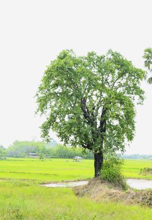 arboles frondosos: El Tako era un gran árbol lleno de árboles frondosos. Foto de archivo