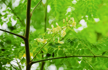 Moringa flowers, each flower will bloom at different times.