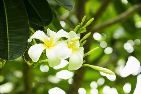tahitian: Plumeria White make it look fresh.