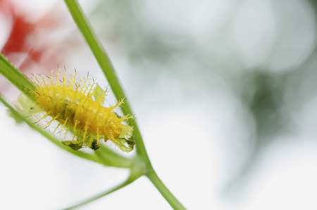 Yellow insects eat leaves and all its thorns. Stock Photo