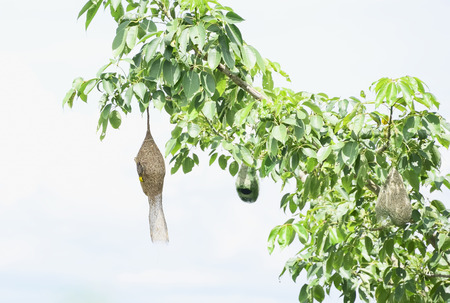 built in: Nests are built in the trees just a natural beauty. Stock Photo