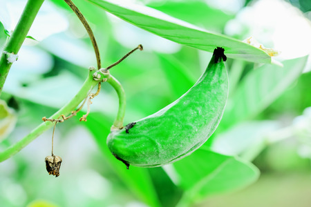 gigantea: There are many small seeds inside the pods. The appearance of flat brown seeds. Stock Photo