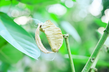 There are many small seeds inside the pods. The appearance of flat brown seeds. Stock Photo