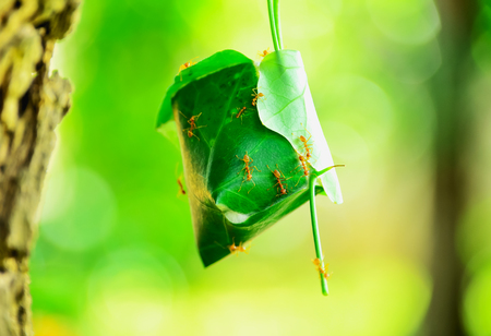 Ants build their nests with leaves several leaves together and use it as saliva binder leaf to stick together.
