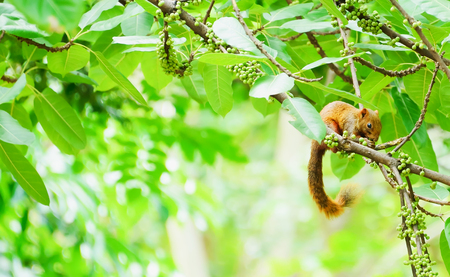 swells: Squirrel is a mammal. A small body size Shaggy covering the entire body, round black eyes, bushy tail swells are classified as rodents.