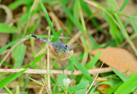 grass close up: Dragonflies are clamped on flower grass alone.