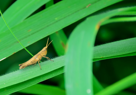 Locusts are clamped on blade of grass alone.