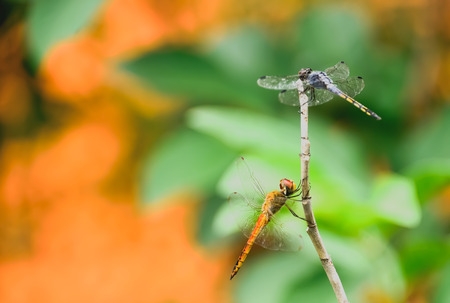clamped: Dragonflies are clamped on the end of branches.