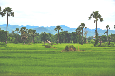 rapidly: The rice that are planted out to grow rapidly, and soon it will yield and wait for the next harvest. Stock Photo