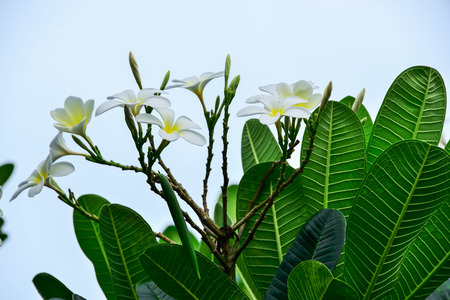 looked: When we looked Plumeria flower blooming as if it shows a race to the white petals.