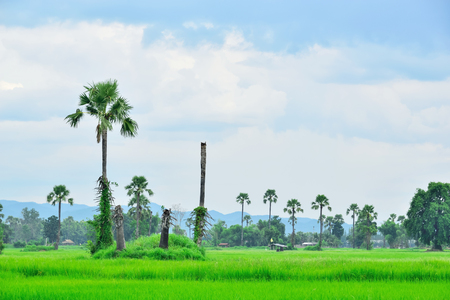The rice that are planted out to grow rapidly, and soon it will yield and wait for the next harvest. Stock Photo