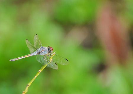 Dragonflies are clamped on the end of branches.