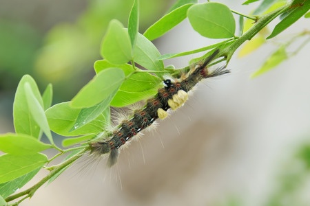 glowworm: The caterpillars are unsightly color for camouflage.