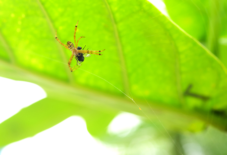 copulation: Spider webs are woven to wrap their prey. Stock Photo