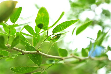Mosquitoes are perched under a leaf to avoid the sun. Stock Photo