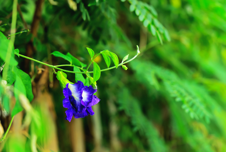 Pea flowers are purple, which is visible in the a long distance. Stock Photo