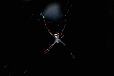 latrodectus: Spiders are perched on its nest which it built them for trapping food. Stock Photo