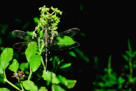 steadily: Dragonflies are steadily perched on a flower.