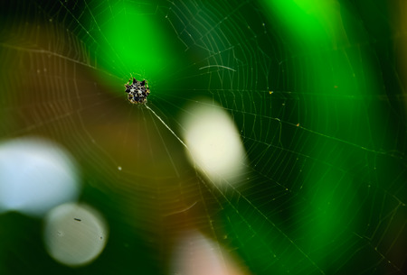 golden orb weaver: Spider waiting for its prey on the web.