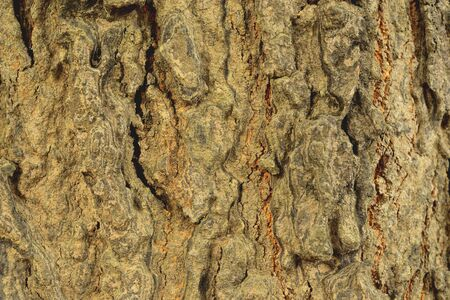 clearly: The bark of the tree with a very thick skin to smooth the rough to see clearly. Stock Photo