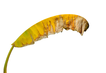 Banana leaves change color from green to yellow, indicating that it was old. Banco de Imagens